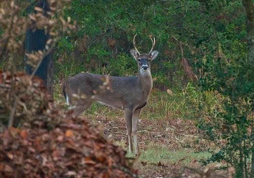 photography dawn nikon stag deer buck whitetail whitetaileddeer odocoileusvirginianus youngbuck cervidae youngstag virginadeer