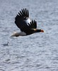 Steller's Sea Eagle by blueeyes_inoki