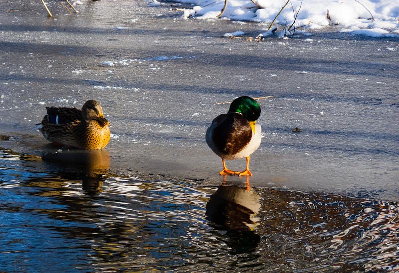 Mallards on a frozen canal