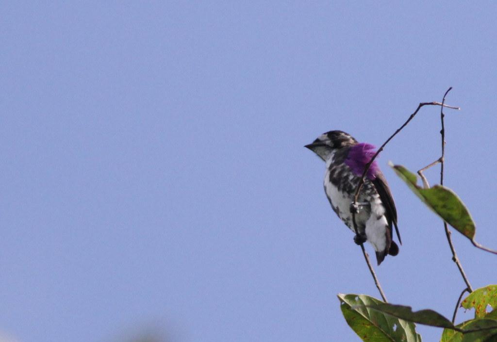 White-browed Purpletuft