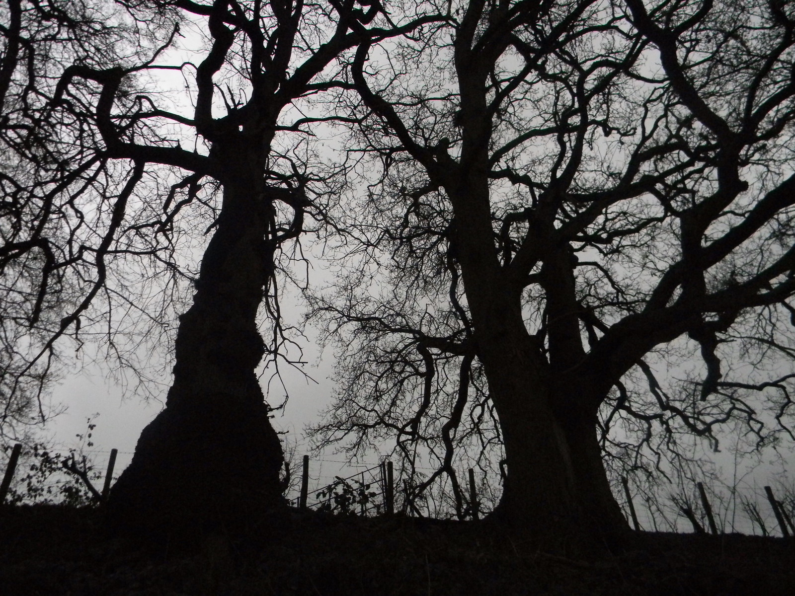 Trees in silhouette Winchfield Circular