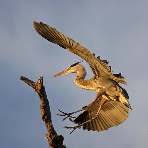 blue heron great landing wingspan salah bolsachica bmse baazizi