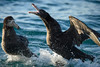 Southern giant petrel (Macronectes giganteus) fighting by Duncan Wallace