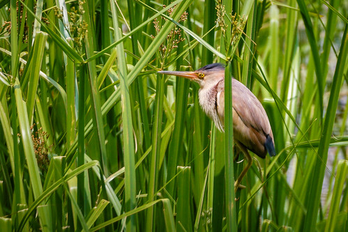 Yellow Bittern (male) | by arnewuensche66