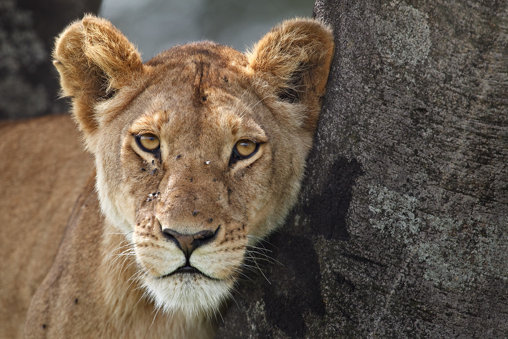 Lioness in a Tree