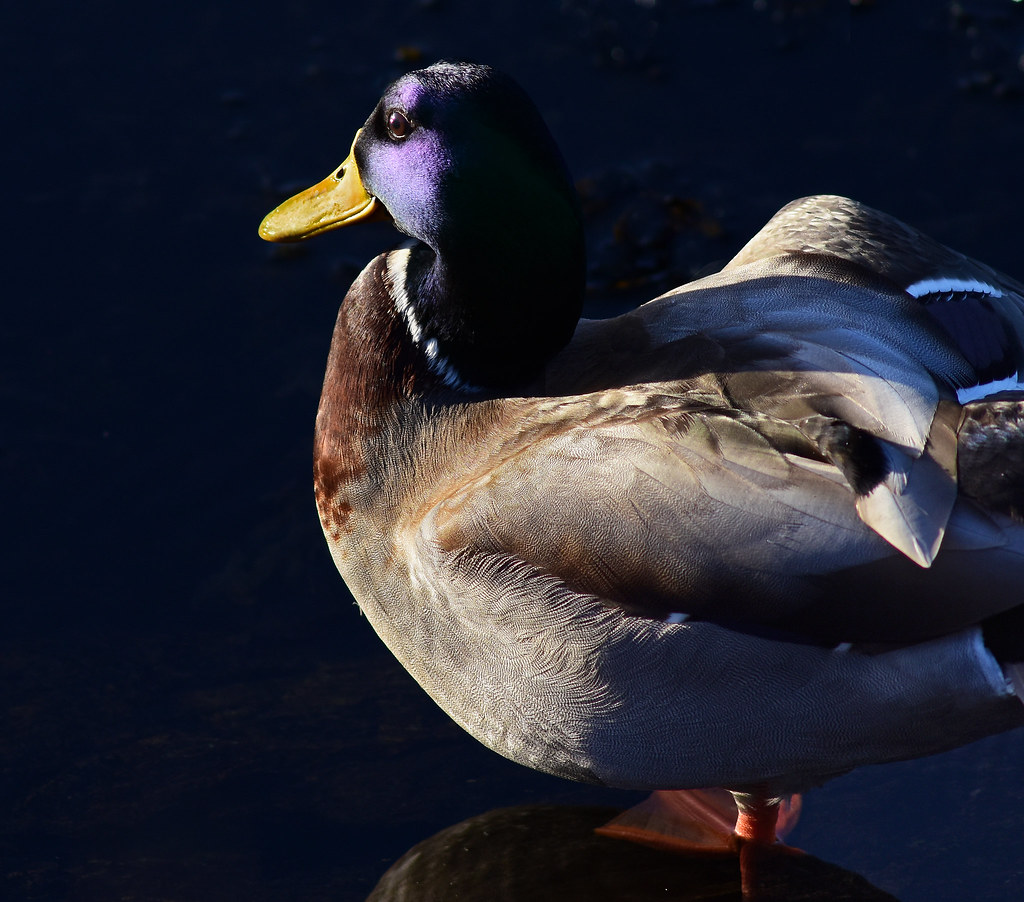 The topography of a Mallard