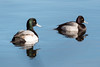 Scaups [1/100] by timsackton