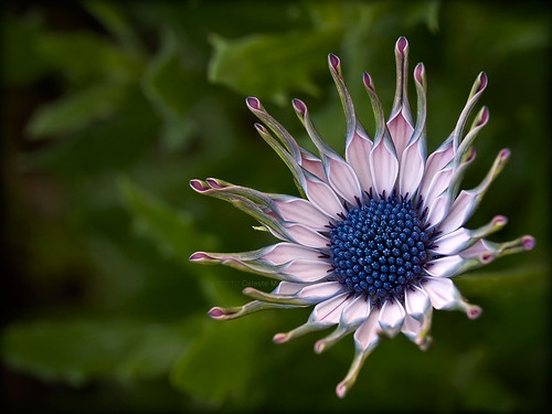 pink blue white flora africandaisy doublefantasy magicofnature magicunicornverybest ♥naturelover♥ zenithaward bestmagicofnature floralfantasy12 boufcontest11dec10 peregrino27macro