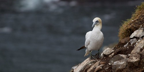 northern gannet | by qmnonic