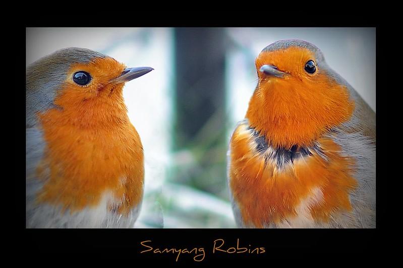Samyang Robins