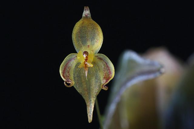 Pleurothallis (Acronia) stevensonii
