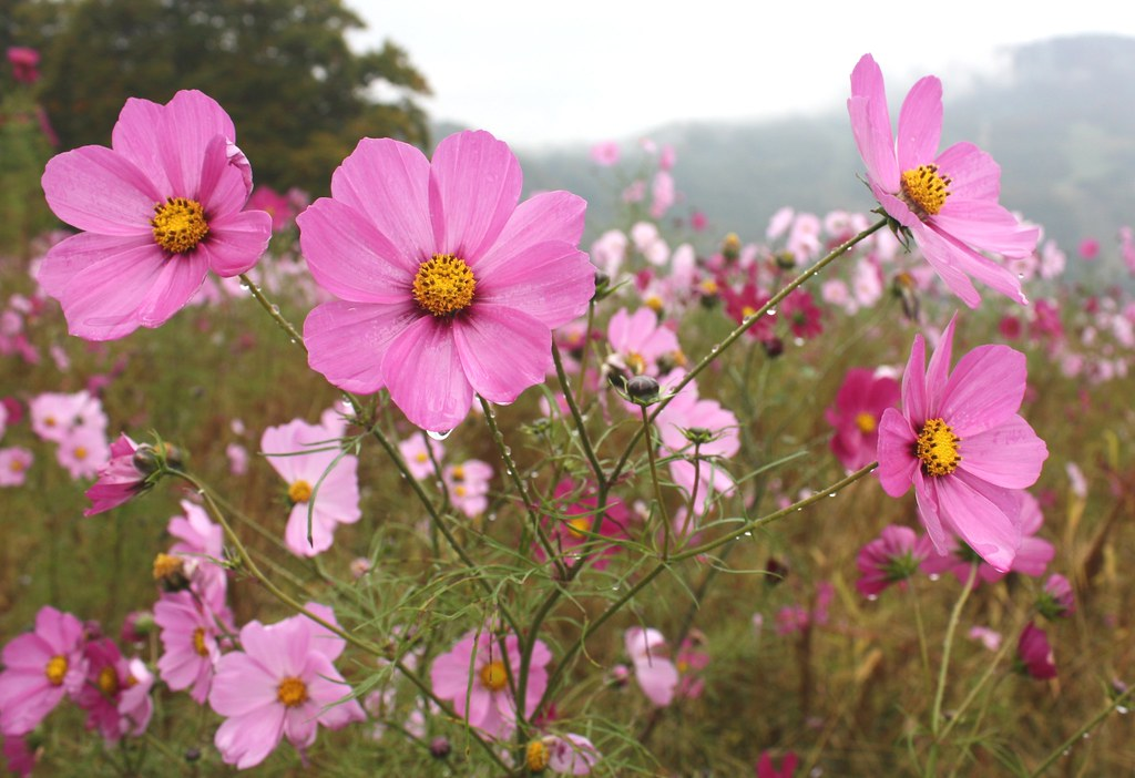 Cosmos Flowers Yuzawa Japan Cosmos Flowers Growing On An Flickr