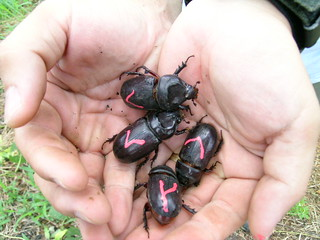 Oil palm: pest, Rhinoceros beetles | by DrLianPinKoh