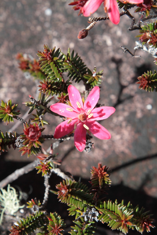 Ledothamnus guianensis (Ericaceae)