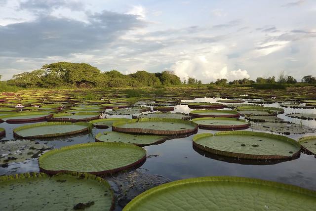 Victoria Cruziana, Crane Pond