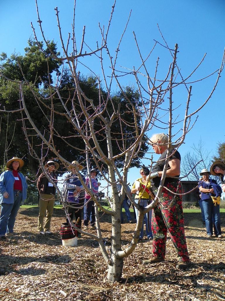 Before pruning master gardeners of santa clara county - Master gardeners santa clara county ...