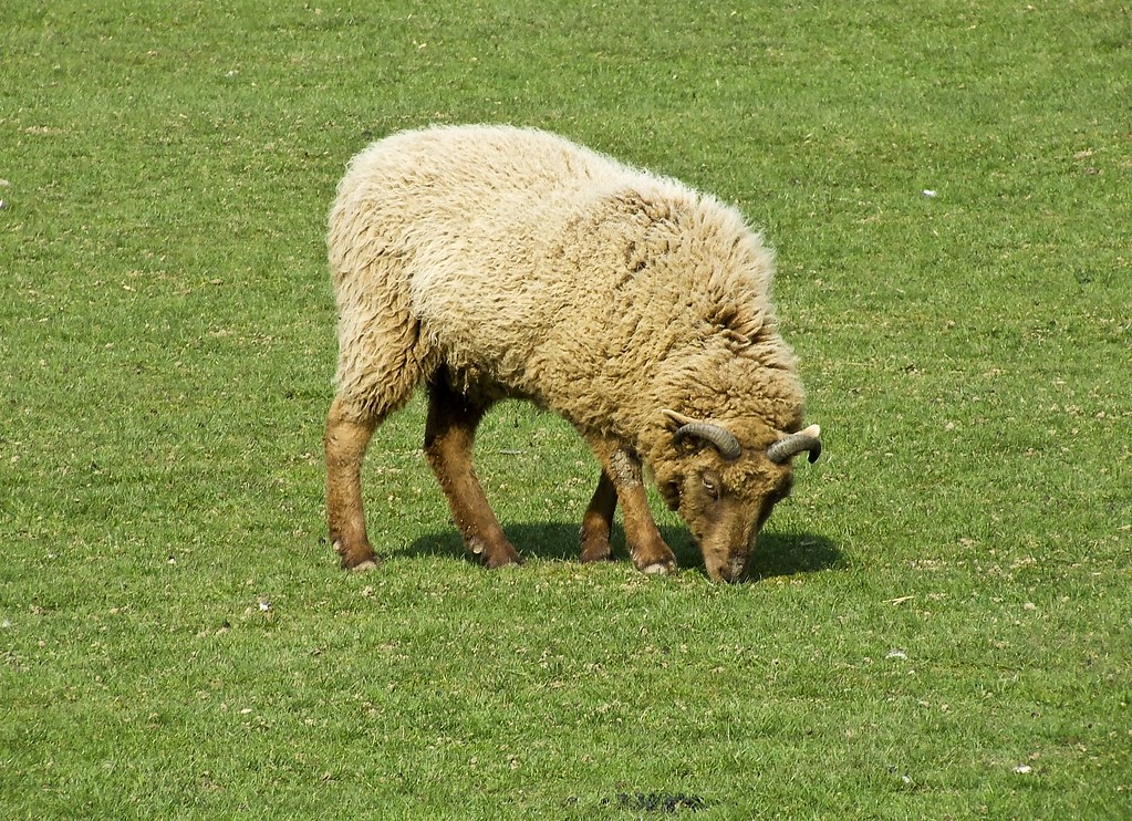 Sheep In Field Taken At Christmas Tree Farm Downe Kent