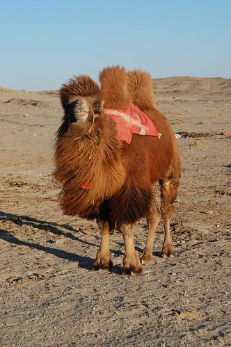 Gobi Camel | by Matt Spurr