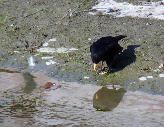 I am a beautiful blackbird