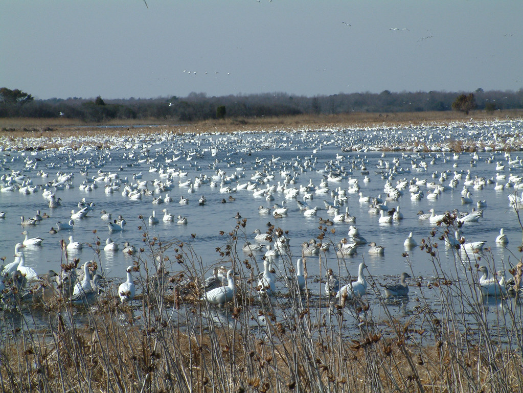 Snow Geese and other waterfowl, Prime Hook NWR
