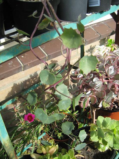 Senecio oxyriifolius subsp. oxyriifolius - Calandstr, Leiden, NL 22 Sept 2009 Leo
