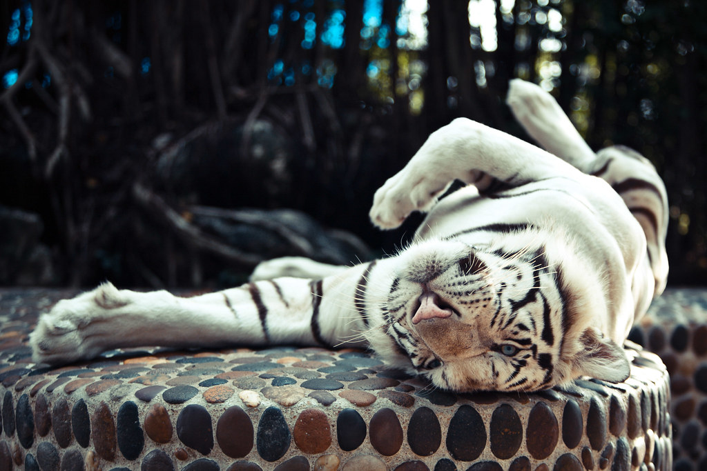 Sleeping Bengal Tiger Royalty Free Stock Images - Image ... |Bengal Tiger Tired