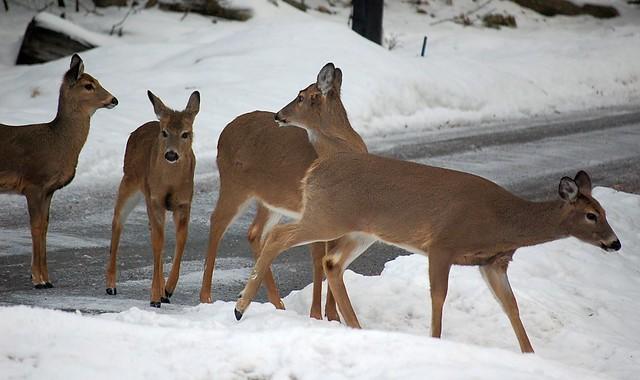 Two-Headed Deer