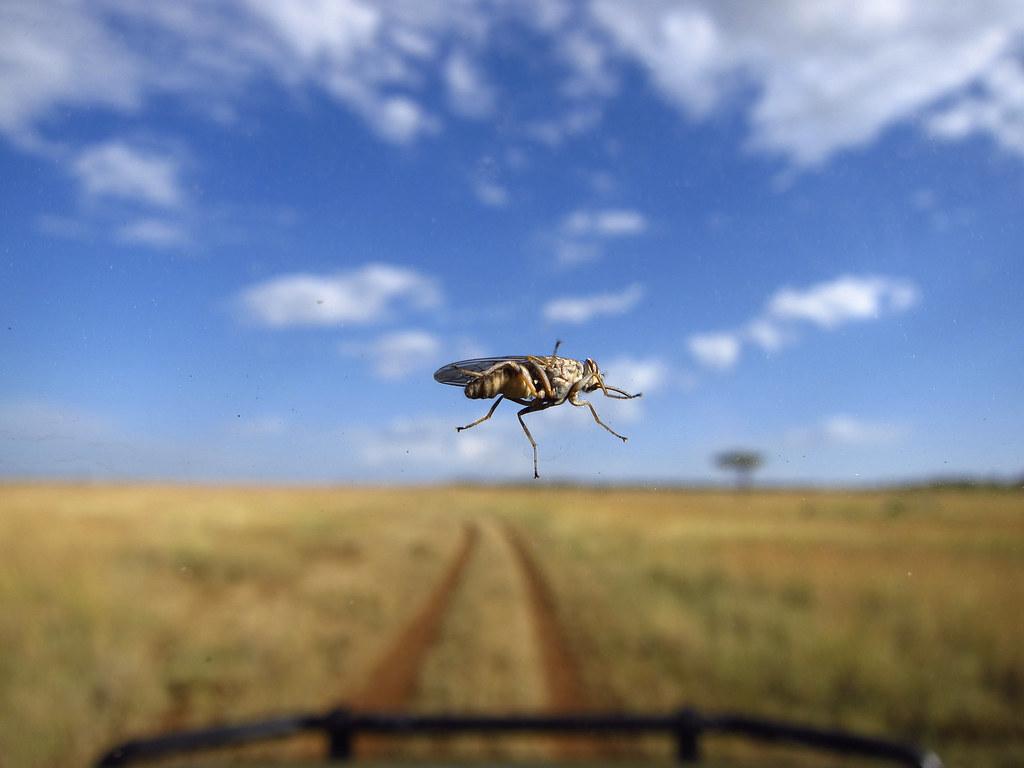 Tsetse fly on the windshield