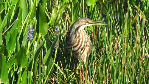 American Bittern | by Jon-Mark Davey