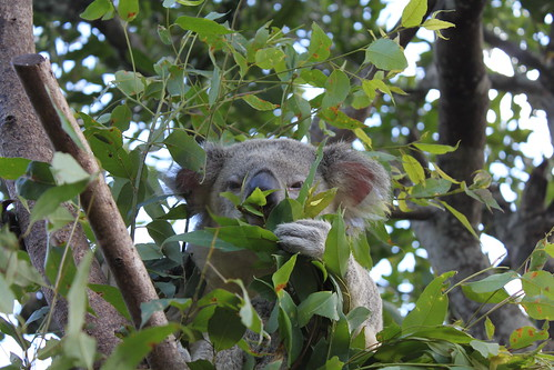 koala | by Christina.McDaniel