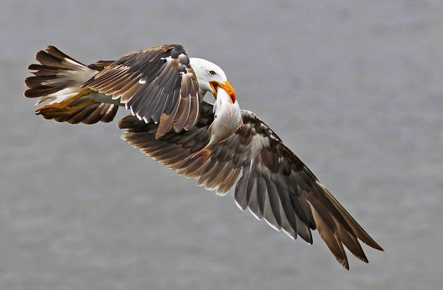 Pacific Gull : Great Capture !!!