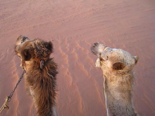 2 cammelli nel deserto di Wadi Rum, Giordania
