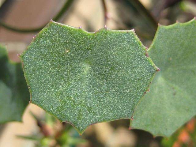 Senecio oxyriifolius subsp. oxyriifolius - lf Calandstr, Leiden, NL 22 Sept 2009 Leo