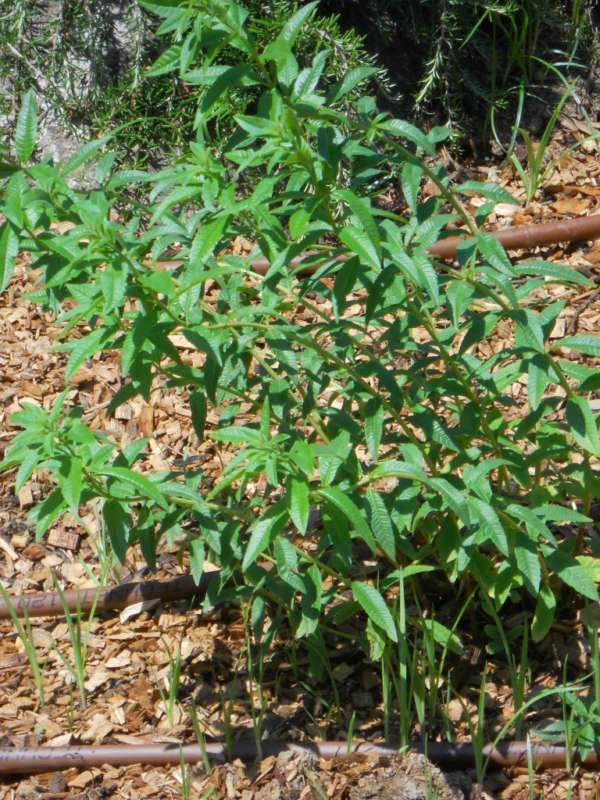 Aloysia citriodora v 1