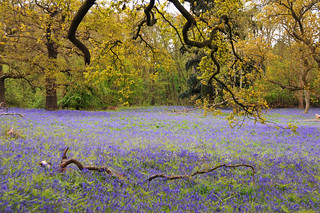 Bluebell meadow, Suffolk, UK