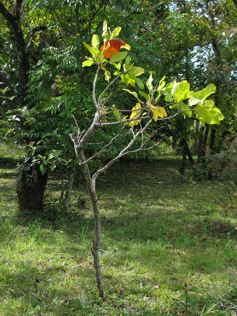 Curatella americana habit | A small tree. The difference