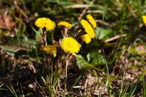 Coltsfoot coming out