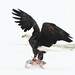 Flickr photo 'Eagle,Bald_©DaveSpier_D071789p' by: northeast naturalist.