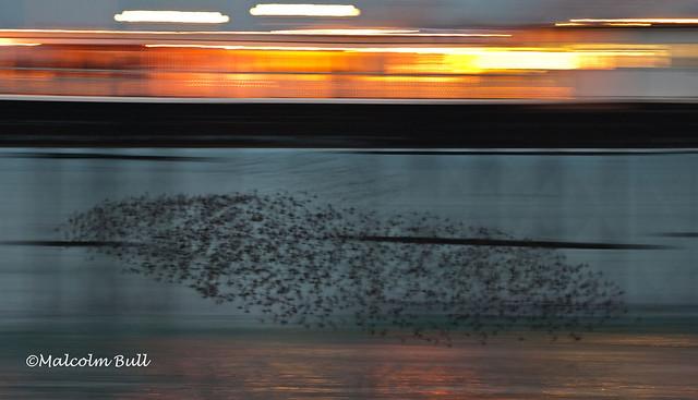 Starling Murmaration (106)