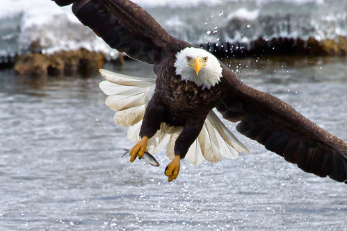 Bald Eagle Intensity | by w4nd3rl0st (InspiredinDesMoines)