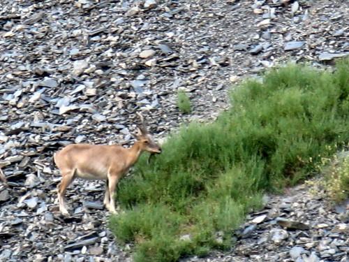 animals markhor chitral chitralgol