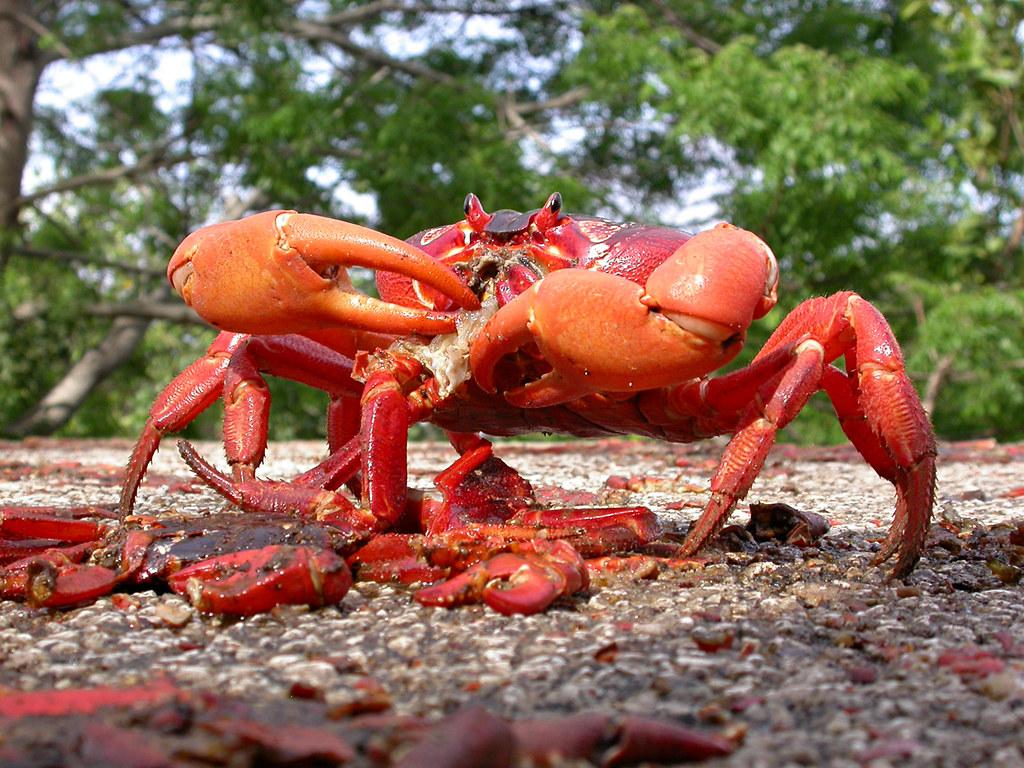 It's horseshoe crab breeding season