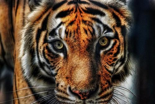 orange black photoshop zoo nikon stripes tiger batonrouge bengal hdr orangeandblack lucisart photomatix pseudohdr d80 batonrougezoo topazadjust