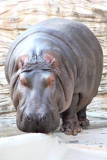 Hippopotamus - 05 | by Kabacchi