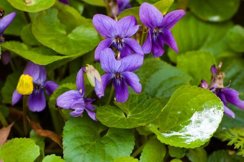 Violets and celandines