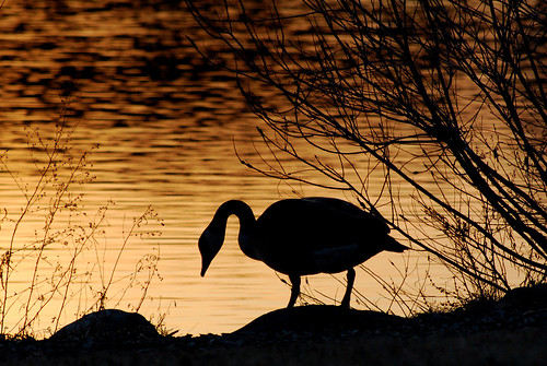 sunset usa bird birds animal backlight michigan annarbor goose nikond60