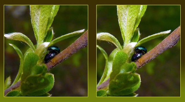 Leaf Beetle Love 1 - Cross-eye 3D