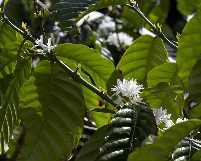 Coffee flower 4090