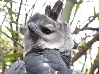 Harpy Eagle | by Care_SMC