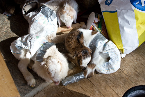 2011 Kidding season: diapers | by nikaboyce